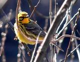 prairie_warbler