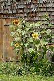 barn sunflower 1881.jpg