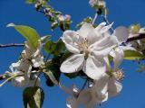 apple blossom 3.jpg