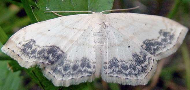 lace-border