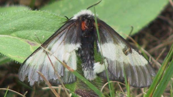 New England Buck Moth