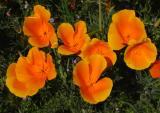 Golden State Flower