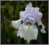 Iris 5-3-03.jpg