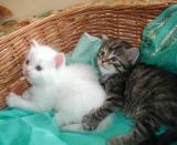 C kittens are 4 weeks - C-pennut ovat neliviikkoisia