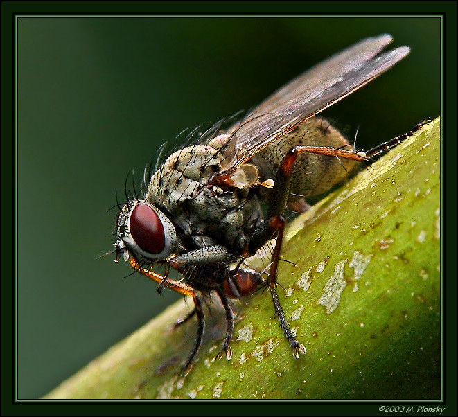 Fly Eating fly