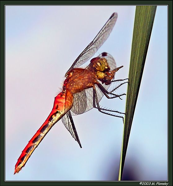 Red Meadowhawk eating