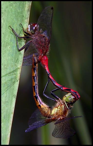Dragonfly Pinwheel