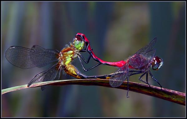 Meadowhawk Dragons Mating