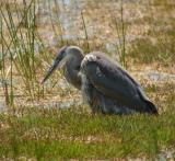 Young Great Blue Heron II