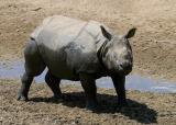 Indian black rhino
