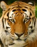 Siberian & Sumatran Tigers