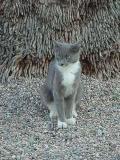 beautiful gray & whitecat named Smokey