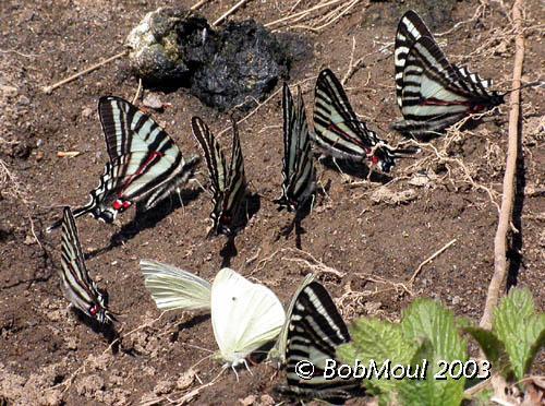 <h5><big>Zebra Swallowtails<br></big><em>Eurytides marcellus</h5></em>