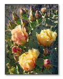 Prickly Pear Cactus FlowersSaguaro Nat'l Park, AZ
