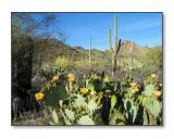 More CactiSaguaro Nat'l Park, AZ