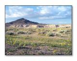 Desert WildflowersTecopa, CA