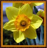 YellowDaffy03.jpg