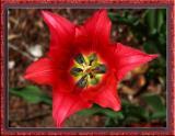 Red Tulip 03.jpg