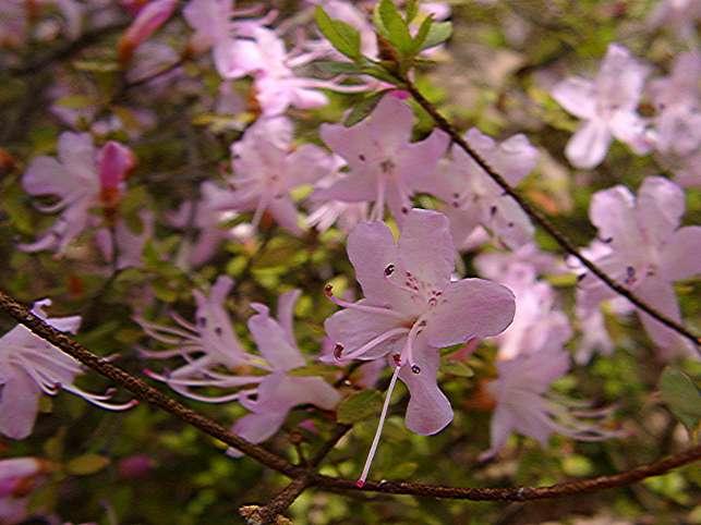 R. serpyllifolium
