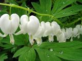 White Bleeding Hearts