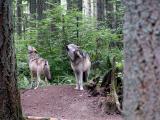 Wolf16.jpg