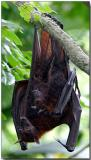 Fruit Bats - Mom & Youngster