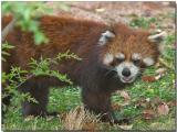 Lesser (Red) Panda