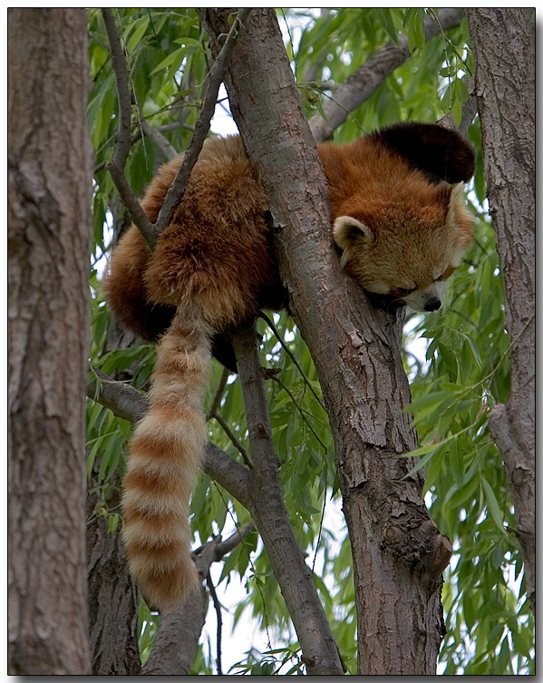Lesser (Red) Panda - nap time
