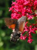Rear View of Hummingbird Moth