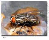 Common Fly feeding on a Dead Snail