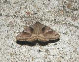 Forage Looper Moth (Caenurgina erechtea) {Catocalinae}