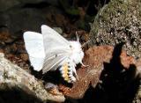 Virginian Tiger Moth (Spilosoma virginica)