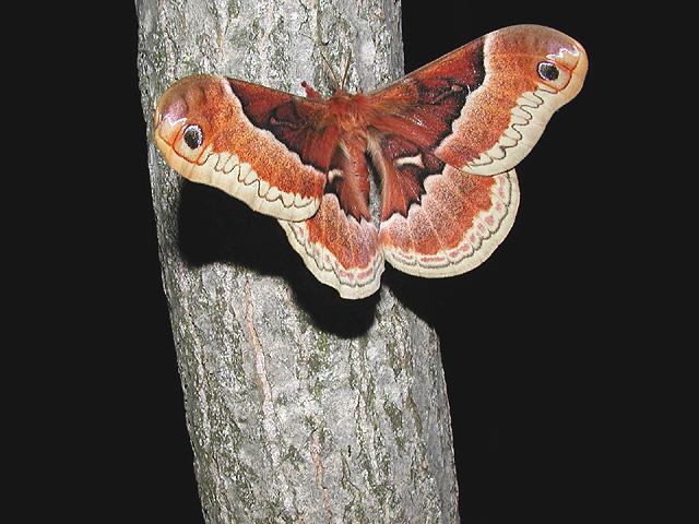 Promethia moth aka Spicebush silkmoth (Callosamia securifera)