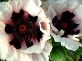 poppy with love to my folks!