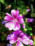 mallow with hoverfly