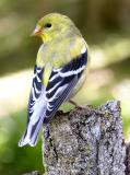 American Goldfinch female 2