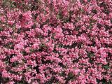 015 Oleander.jpg