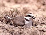 002 Kentish Plover.jpg