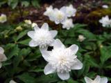 Anemone nemerosa flora plena