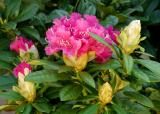 The Rhododendron Collection