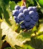 Effied Grapes