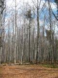 Las bukowy(155-5585_IMG.JPG)