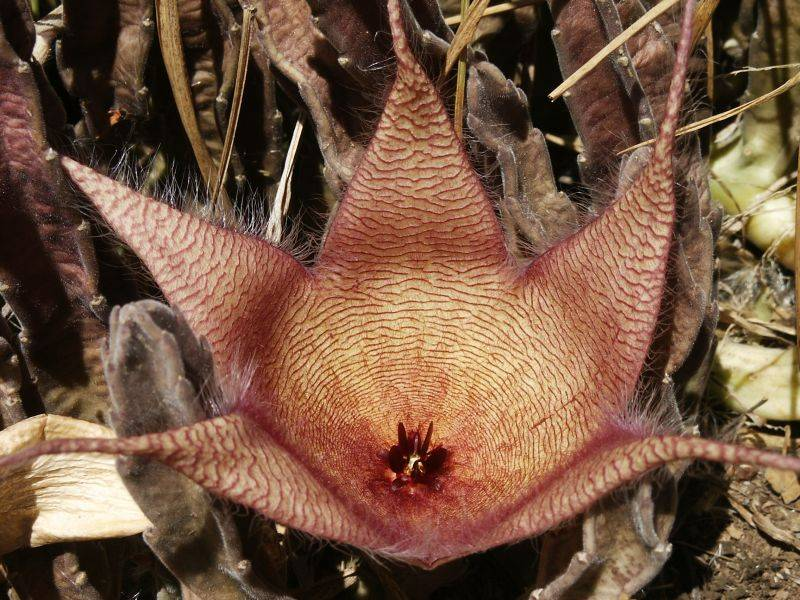 A variety of Huernia native to South Africa