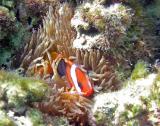 Poisson-clown bstré Amphiprion melanopus