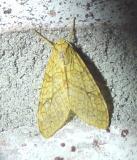 lophocampa  annulosa