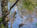 A heron stops in at Radnor Lake