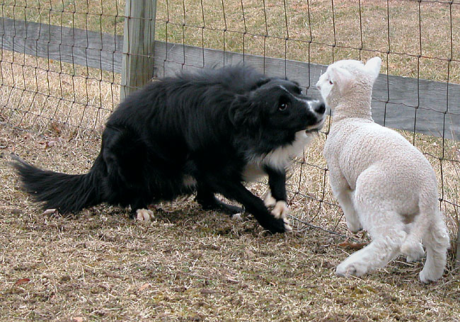 Trying to control a panicked lamb without hurting it