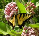 Eastern Tiger Swallowtail on milkweed flowers