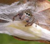 Jumping Spider guarding her egg case (Metaphid sp?)