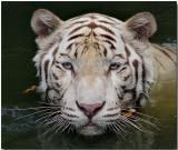 White Bengal Tiger - Cooling off